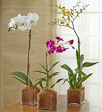 Grower\'s Choice Orchids